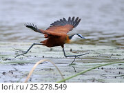 Купить «African jacana (Actophilornis africana) running across water surface, Okavango Delta, Botswana», фото № 25278549, снято 16 октября 2019 г. (c) Nature Picture Library / Фотобанк Лори