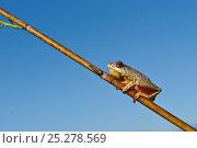 Купить «Reed frog (Hyperolius sp) Okavango Delta, Botswana», фото № 25278569, снято 15 декабря 2019 г. (c) Nature Picture Library / Фотобанк Лори