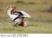 Great Bustard (Otis tarda) displaying, Spain April. Стоковое фото, фотограф Markus Varesvuo / Nature Picture Library / Фотобанк Лори