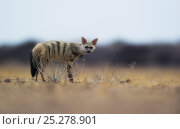 Купить «Aardwolf (Proteles cristatus) Kalahari, Botwswana, November.», фото № 25278901, снято 8 ноября 2019 г. (c) Nature Picture Library / Фотобанк Лори