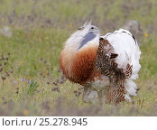 Great Bustard (Otis tarda) male displaying, fluffed up feathers, Spain April. Стоковое фото, фотограф Markus Varesvuo / Nature Picture Library / Фотобанк Лори