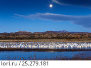 Купить «Mixed flock of Snow geese (Chen caerulescens atlanticus / Chen caerulescens) and Sandhill cranes (Grus canadensis) at wintering area at dawn, with full...», фото № 25279181, снято 15 июля 2018 г. (c) Nature Picture Library / Фотобанк Лори