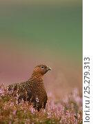 Купить «Red Grouse (Lagopus lagopus scoticus) in Heather. Peak District, UK, August.», фото № 25279313, снято 25 марта 2019 г. (c) Nature Picture Library / Фотобанк Лори