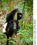 Milne-Edwards' sifaka (Propithecus edwardsi) climbing  tree trunk, Ranomafana National Park, Madagascar, Endangered, September. Стоковое фото, фотограф Inaki Relanzon / Nature Picture Library / Фотобанк Лори