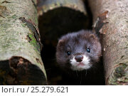 Купить «European mink (Mustela lutreola) head portrait, captive, Germany, Critically endangered», фото № 25279621, снято 23 марта 2019 г. (c) Nature Picture Library / Фотобанк Лори