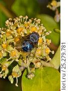Купить «Bluebottle (Calliphora vomitoria) feeding on nectar of Ivy flower, South London, UK, October», фото № 25279781, снято 23 января 2018 г. (c) Nature Picture Library / Фотобанк Лори