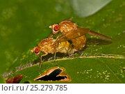 Купить «Wildtype Common fruit flies (Drosophila melanogaster) mating on leaf, South London, UK,  October», фото № 25279785, снято 19 октября 2019 г. (c) Nature Picture Library / Фотобанк Лори
