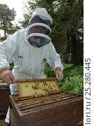 Купить «Bee keeper, Richard Emery, attending Honey bee (Apis mellifera) beehive at a heathland site in Suffolk, UK, August 2011. Model released», фото № 25280445, снято 19 августа 2018 г. (c) Nature Picture Library / Фотобанк Лори