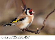 Купить «Goldfinch (Carduelis carduelis) Finland May», фото № 25280457, снято 19 марта 2019 г. (c) Nature Picture Library / Фотобанк Лори