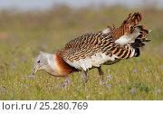 Great Bustard (Otis tarda) male feeding, Spain April. Стоковое фото, фотограф Markus Varesvuo / Nature Picture Library / Фотобанк Лори