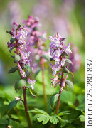 Купить «Bulbous corydalis (Corydalis bulbosa) Haseder Busch, Hasede, Lower Saxony, Germany», фото № 25280837, снято 18 января 2019 г. (c) Nature Picture Library / Фотобанк Лори