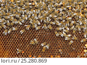 Купить «Worker European honey bees (Apis mellifera) on honeycomb in beehive, Suffolk, UK, August», фото № 25280869, снято 19 августа 2018 г. (c) Nature Picture Library / Фотобанк Лори