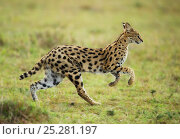 Serval (Caracal / Leptailurus serval) running. Masai Mara, Kenya, September. Стоковое фото, фотограф Ole Jorgen Liodden / Nature Picture Library / Фотобанк Лори