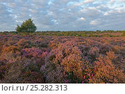 Купить «Heather / Ling (Calluna vulgaris) in flower on Westleton Heath NNR, Suffolk, UK, August 2011.», фото № 25282313, снято 2 июня 2020 г. (c) Nature Picture Library / Фотобанк Лори