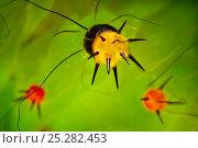 Купить «Indian moon / Indian luna Moth (Actias selene) close up of defensive spines on caterpillar. Captive.», фото № 25282453, снято 16 февраля 2019 г. (c) Nature Picture Library / Фотобанк Лори