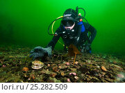 Diver collecting Queen scallop (Aequipecten / Chlamys opercularis). Note this shot was posed and the scallop was never actually touched. Loch Carron, Ross and Cromarty, Scotland, UK, April. Стоковое фото, фотограф Alex Mustard / 2020VISION / Nature Picture Library / Фотобанк Лори