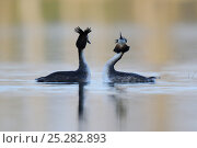 Купить «Great crested grebe (Podiceps cristatus) pair displaying, Vosges, France, March», фото № 25282893, снято 25 апреля 2019 г. (c) Nature Picture Library / Фотобанк Лори