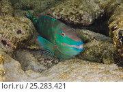 Купить «Stoplight parrotfish (Sparisoma viride) amongst reef rocks, Bonaire, Netherlands Antilles, Caribbean», фото № 25283421, снято 10 июля 2020 г. (c) Nature Picture Library / Фотобанк Лори