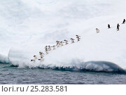 Купить «Gentoo Penguins (Pygoscelis papua) following each other into the sea from an iceberg. Errera Channel, Antarctic Peninsula, Antarctica, January.», фото № 25283581, снято 6 августа 2020 г. (c) Nature Picture Library / Фотобанк Лори