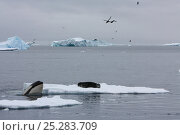 Купить «Southern Type B Killer whale (Orcinus orca) hunting Weddell seal (Leptonychotes weddelli), spyhopping to see where seal is on ice floe, with Brown skuas...», фото № 25283709, снято 15 августа 2018 г. (c) Nature Picture Library / Фотобанк Лори
