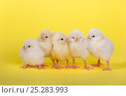 Купить «Five newly hatched chicks in a row», фото № 25283993, снято 26 марта 2019 г. (c) Nature Picture Library / Фотобанк Лори