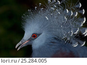 Blue crowned pigeon (Goura cristata) portrait, captive. Стоковое фото, фотограф Edwin Giesbers / Nature Picture Library / Фотобанк Лори