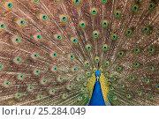 Купить «Male Indian peafowl (Pavo cristatus) displaying, captive», фото № 25284049, снято 25 апреля 2019 г. (c) Nature Picture Library / Фотобанк Лори
