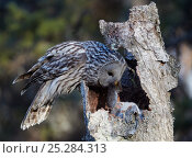 Купить «Ural Owl (Strix uralensis) bringing rodent prey to feed chick in nest hole in tree trunk, Kuusamo Finland May», фото № 25284313, снято 17 января 2019 г. (c) Nature Picture Library / Фотобанк Лори