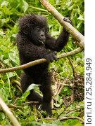 Купить «Mountain Gorilla (Gorilla beringei) baby playing. Volcanoes National Park, Rwanda.», фото № 25284949, снято 26 февраля 2020 г. (c) Nature Picture Library / Фотобанк Лори