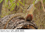 Купить «Eastern water dragon (Physignathus lesueurii) on log, central Queensland, Australia, November», фото № 25284985, снято 3 апреля 2020 г. (c) Nature Picture Library / Фотобанк Лори