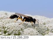 Купить «Mud dauber wasp (Sceliphron destillatorium) feeding on Wild carrot / Queen Anne's lace (Daucus carota) flowers, Lesbos / Lesvos, Greece, June.», фото № 25286209, снято 3 июля 2020 г. (c) Nature Picture Library / Фотобанк Лори