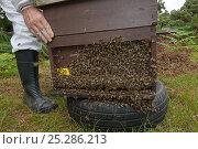 Купить «Bee keeper, Richard Emery, attending Honey bee (Apis mellifera) beehive at a heathland site in Suffolk, UK, August 2011. Model released», фото № 25286213, снято 19 августа 2018 г. (c) Nature Picture Library / Фотобанк Лори