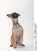 Mixed Breed puppy, 12 weeks / Pug crossbred. Стоковое фото, фотограф Petra Wegner / Nature Picture Library / Фотобанк Лори