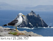 Купить «Lesser black-backed gull (Larus fuscus) on cliff with Little Skellig gannetry in the background, Great Skellig island, Co Kerry, Ireland, June 2011», фото № 25286757, снято 26 марта 2019 г. (c) Nature Picture Library / Фотобанк Лори