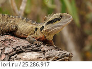 Купить «Eastern water dragon (Physignathus lesueurii) portrait on log, central Queensland, Australia, November», фото № 25286917, снято 3 апреля 2020 г. (c) Nature Picture Library / Фотобанк Лори