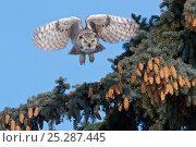 Купить «Great Horned owl, (Bubo virginianus) in flight, Regina, Saskatchewan, Canada, March», фото № 25287445, снято 25 марта 2019 г. (c) Nature Picture Library / Фотобанк Лори