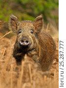 Купить «Wild boar (Sus scrofa) female in forest, Forest of Dean, Gloucestershire, UK, March», фото № 25287777, снято 24 февраля 2019 г. (c) Nature Picture Library / Фотобанк Лори
