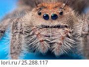 Regal jumping spider (Phidippus regius) female originating from North America. Captive. Стоковое фото, фотограф Alex Hyde / Nature Picture Library / Фотобанк Лори