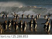 Купить «King penguins (Aptenodytes patagonicus) heading out to sea, crossing tidal surf to feed in the open seas, South Georgia. Taken on location for BBC Frozen Planet series, 2008», фото № 25288853, снято 25 марта 2019 г. (c) Nature Picture Library / Фотобанк Лори