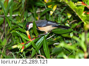 Купить «Eastern spinebill (Acanthorhynchus tenuirostris) male feeding on nectar from flower, rainforest, Atherton Tablelands, Queensland, Australia, October», фото № 25289121, снято 21 октября 2018 г. (c) Nature Picture Library / Фотобанк Лори