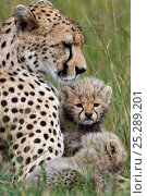 Купить «Cheetah female with cubs aged 1-3 months (Acinonyx jubatus) Masai Mara National Reserve, Kenya», фото № 25289201, снято 8 мая 2020 г. (c) Nature Picture Library / Фотобанк Лори