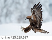 Купить «Golden Eagle (Aquila chrysaetos) pouncing in flight with claws brandished. Kuusamo, Finland, February.», фото № 25289597, снято 21 сентября 2018 г. (c) Nature Picture Library / Фотобанк Лори