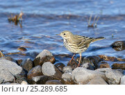 Купить «Meadow Pipit (Anthus pratensis) at water side. Deeside, Scotland, April.», фото № 25289685, снято 22 мая 2019 г. (c) Nature Picture Library / Фотобанк Лори