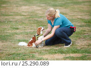 Купить «Woman putting harness on Cavalier King Charles Spaniel, blenheim, Sequence 4/4, model released», фото № 25290089, снято 20 июля 2018 г. (c) Nature Picture Library / Фотобанк Лори