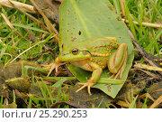 Купить «Green and golden bell frog (Litoria aurea) Northern Tasmania, Australia, Endangered, February», фото № 25290253, снято 6 августа 2020 г. (c) Nature Picture Library / Фотобанк Лори