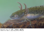 Купить «Great crested newt (Triturus cristatus) juvenile in dew pond, Lathkil Dale, Peak District NP, Derbyshire, UK», фото № 25290405, снято 19 июля 2018 г. (c) Nature Picture Library / Фотобанк Лори