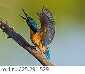 Купить «Kingfisher (Alcedo atthis) territorial display to warn rivals. Castro Verde, Alentejo, Portugal, April.», фото № 25291529, снято 25 марта 2019 г. (c) Nature Picture Library / Фотобанк Лори