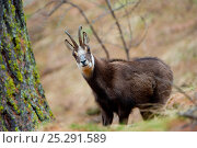 Chamois (Rupicapra rupicapra) in Gran Paradiso National Park, Alps, Italy, April. Стоковое фото, фотограф Inaki Relanzon / Nature Picture Library / Фотобанк Лори