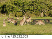 Eastern grey kangaroo (Macropus giganteus) mob grazing, Australian Capital Territory, Australia, December 2010. Стоковое фото, фотограф Dave Watts / Nature Picture Library / Фотобанк Лори
