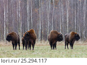 Купить «Four Wisent / Bison (Bison bonasus) standing before birch forest. Bialowieza Forest, Bialowieza National Park, Poland, November.», фото № 25294117, снято 15 ноября 2019 г. (c) Nature Picture Library / Фотобанк Лори